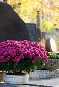 pink chrysanthemum on gravestone